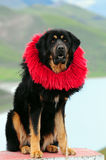 Tibetan mastiff Royalty-vrije Stock Fotografie