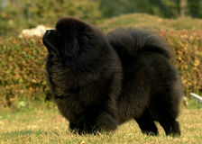 Tibetan Mastiff. A black Tibetan Mastiff on the grassland stock image