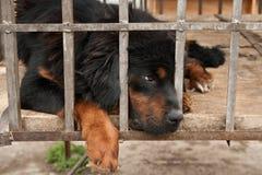 Tibetan Mastiff Stock Image
