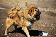 Tibetan Mastiff Royalty-vrije Stock Foto's