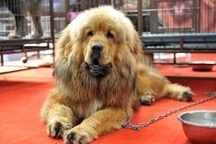 Tibetan mastiff. A tibetan mastiff very like lion stock photography