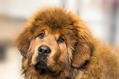 tibetan mastiff arkivbild