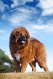 Tibetan Mastiff. A huge tibetan Mastiff look at me royalty free stock image
