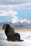 Tibetan Mastiff. A tibetan Mastiff on the ice royalty free stock image