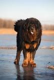 Tibetan Mastiff. A huge tibetan Mastiff look at me stock image
