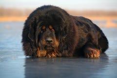 Tibetan Mastiff. A huge tibetan Mastiff look at me royalty free stock photos