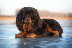 Tibetan Mastiff. A huge tibetan Mastiff look at me stock photography