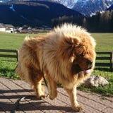 tibetan mastiff royaltyfri fotografi
