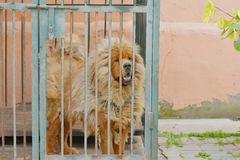The Tibetan Mastiff. In a cage,Hero in the cage stock images