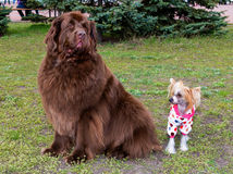 Tibetan Mastiff and Chinese crested dog. The Tibetan Mastiff and The Chinese crested dog meet in the park stock image