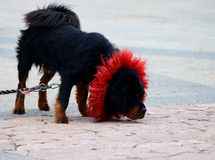 Tibetan Mastiff dog Stock Image
