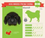 Tibetan Mastiff Dog breed  infographics. Royalty Free Stock Images