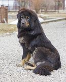 Tibetan Mastiff Royalty Free Stock Image