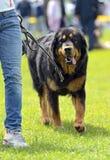 Tibetan Mastiff Royalty Free Stock Images