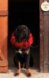 Tibetan Mastiff in the doorway. Tibetan Mastiff in a red velvet collar, standing in the doorway Royalty Free Stock Photography
