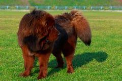Tibetan mastiff för hundavel arkivbild