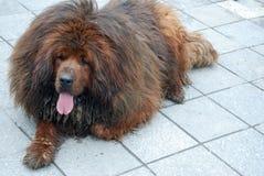Tibetan mastiff. A tibetan mastiff on the ground stock images