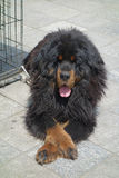 Tibetan mastiff Stock Photo