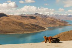 A tibetan mastiff and a holy Yamdrok lake. A brown tibetan mastiff and the beautiful turquoise holy Yamdrok lake with snow mountain in background in a blue sky Royalty Free Stock Images