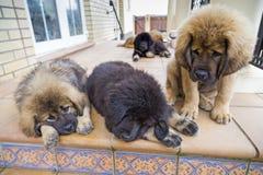 Tibetan Mastiff puppies Stock Image