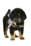 Tibetan Mastiff puppy. Tibetan Mastiff puppy on white background Stock Image
