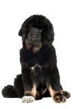 Tibetan mastiff puppy Stock Photography
