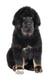 Tibetan mastiff puppy Stock Images