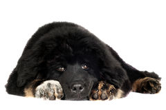 Tibetan mastiff puppy Royalty Free Stock Photo