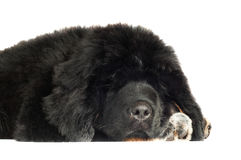 Tibetan mastiff puppy Stock Photos