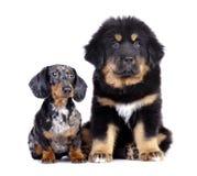 Tibetan mastiff puppy and dog dachshund Stock Image