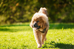 Tibetan Mastiff puppy. Dog in summer day royalty free stock images