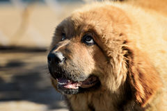 Tibetan Mastiff puppy Stock Image
