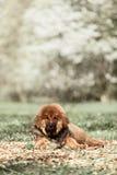 Tibetan Mastiff puppy. Dog in summer day stock photo
