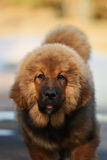 Tibetan Mastiff puppy Stock Images