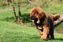 Tibetan Mastiff puppy. Dog in summer day stock images