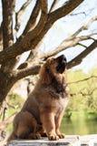 Tibetan Mastiff puppy Royalty Free Stock Image