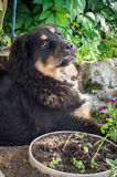 The Tibetan Mastiff puppy. Royalty Free Stock Photography
