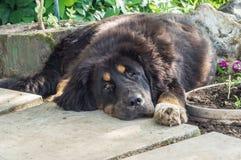 The Tibetan Mastiff puppy. Royalty Free Stock Image
