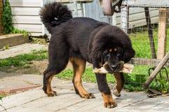 The Tibetan Mastiff puppy. Stock Photo