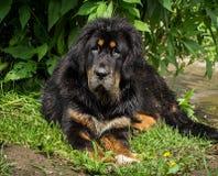 The Tibetan Mastiff puppy. Stock Photos
