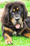 The Tibetan Mastiff puppy. The Tibetan Mastiff is one of the oldest working breeds of dogs that were guard dog in Tibetan monasteries, and helped the nomads in Stock Photo