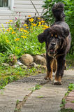The Tibetan Mastiff puppy. The Tibetan Mastiff is one of the oldest working breeds of dogs that were guard dog in Tibetan monasteries, and helped the nomads in Stock Images
