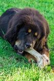 The Tibetan Mastiff puppy. Stock Images