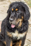 The Tibetan Mastiff puppy. The Tibetan Mastiff is one of the oldest working breeds of dogs that were guard dog in Tibetan monasteries, and helped the nomads in Royalty Free Stock Photo