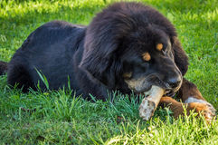 The Tibetan Mastiff puppy. The Tibetan Mastiff is one of the oldest working breeds of dogs that were guard dog in Tibetan monasteries, and helped the nomads in stock image