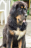 The Tibetan Mastiff puppy. The Tibetan Mastiff is one of the oldest working breeds of dogs that were guard dog in Tibetan monasteries, and helped the nomads in Stock Photos