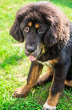 The Tibetan Mastiff puppy. The Tibetan Mastiff is one of the oldest working breeds of dogs that were guard dog in Tibetan monasteries, and helped the nomads in Royalty Free Stock Image