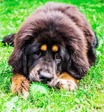 The Tibetan Mastiff puppy. Stock Images