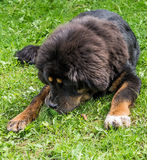 The Tibetan Mastiff puppy. The Tibetan Mastiff is one of the oldest working breeds of dogs that were guard dog in Tibetan monasteries, and helped the nomads in Royalty Free Stock Images