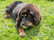 The Tibetan Mastiff puppy. Stock Photos